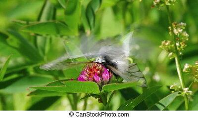 crataegi, цветок, совокупляться, aporia, -, butterflies, белый