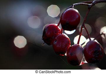 crataegus, ber, hawthorn, -, monogyna