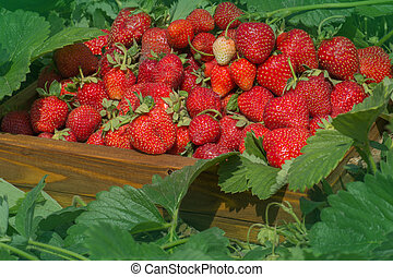 Crate full of strawberries in the field