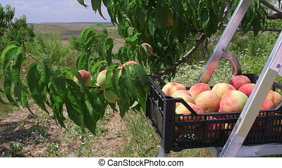 Crate of ripe peaches in orchard during harvest
