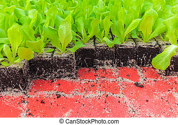 Crate with young lettuce plants ready to be put into the...