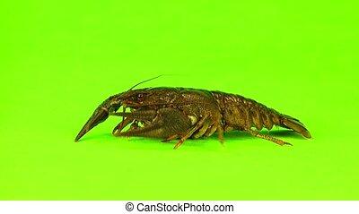 crawfish  on  green screen