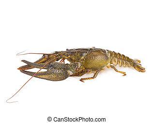 crawfish isolated
