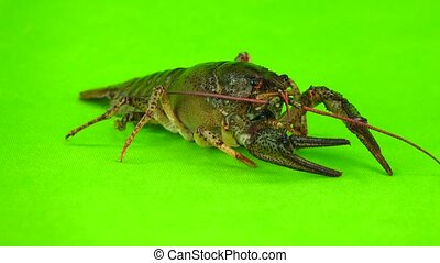 crawfish  on  green screen
