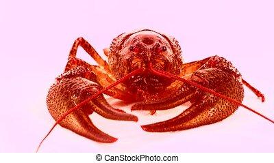 crawfish  on white screen
