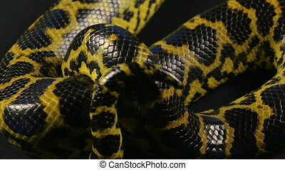 Crawling anaconda in studio - Footage of yellow anaconda on...