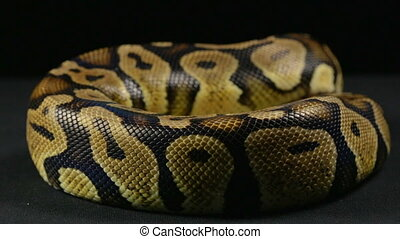 Crawling ball python - Footage of royal ball python on black...