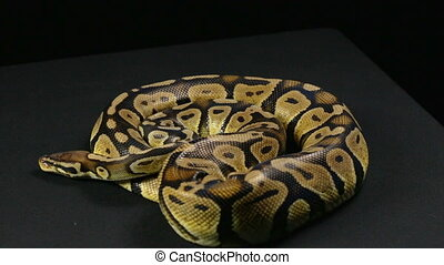 Crawling ball python, head and tongue - Footage of royal...