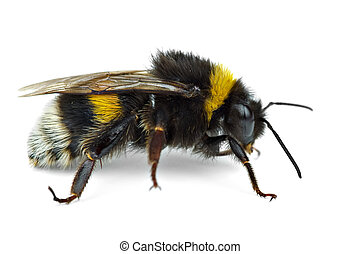 Crawling bumblebee isolated on the white background