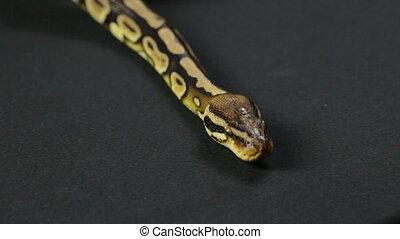 Crawling down royal python - Footage of royal ball python on...