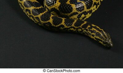 Crawling in knot anaconda on black background - Footage of...