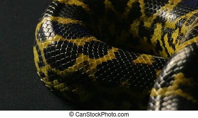 Crawling in knot pet anaconda - Footage of yellow anaconda...