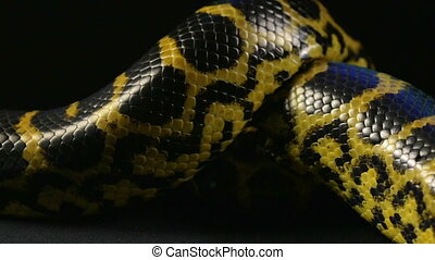 Crawling in knot yellow python - Footage of yellow anaconda...