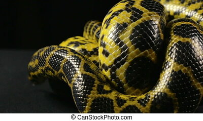 Crawling in knot yellow snake - Footage of yellow anaconda...