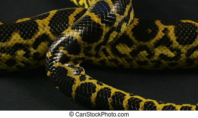 Crawling pet python on black background - Footage of yellow...