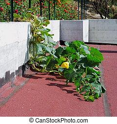 Crawling pumpkin plant - Large crawling pumpkin plant with ...