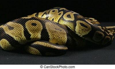 Crawling royal python - Footage of royal ball python on...