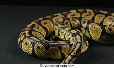 Crawling royal python, head and tongue - Footage of royal...