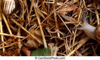 crawling snail closeup - Garden snail crawling on the straw...