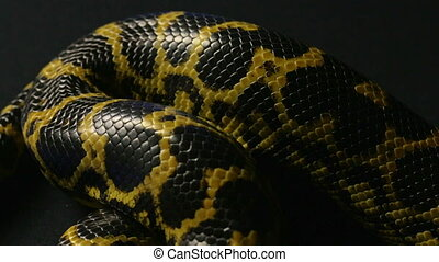 Crawling yellow pet anaconda - Footage of yellow anaconda on...