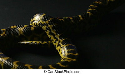 Crawling yellow snake - Footage of yellow anaconda on black...