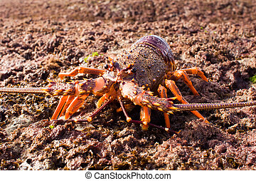 Crayfish 02