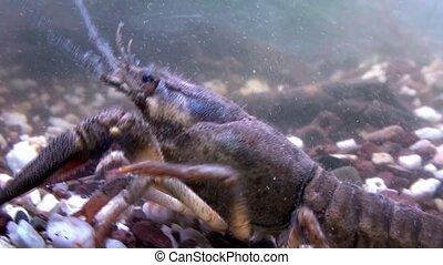 crayfish - astacus astacus - crayfish - astacus astacus -...