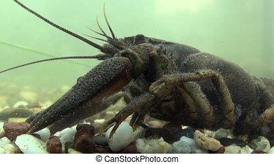 crayfish  - astacus astacus