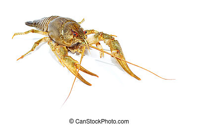 Crayfish close up isolated on white background