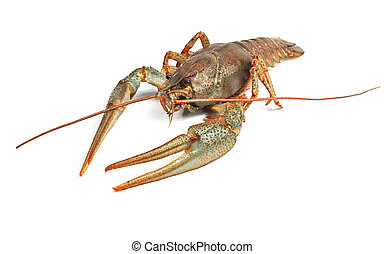 Crayfish closeup isolated on white background