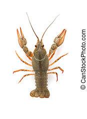 crayfish, fluß, roh