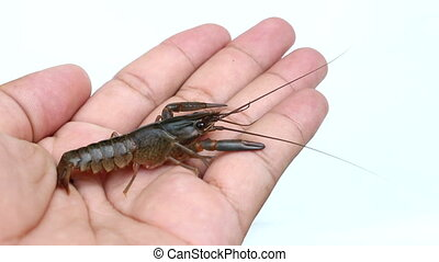 Crayfish in hand on isolated - close up Crayfish in hand on...