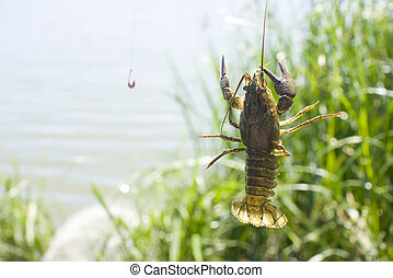 Crayfish on a fishermans hook - Live crayfish caught on a...
