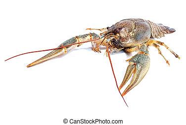 Crayfish on a white background. Crayfish isolated on white