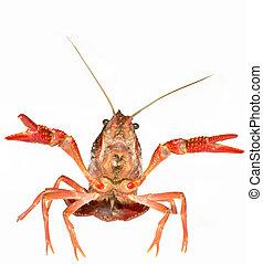 crayfish - crawfish is isolated on a white background