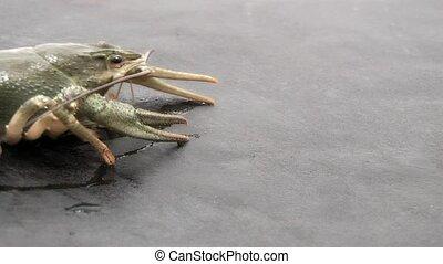 Crayfish,