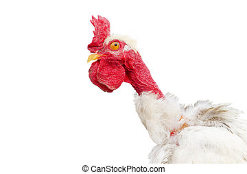 crazy funny rooster isolated on white