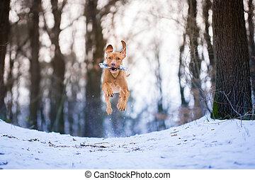 Flying hungarian vizsla pointer dog on snow