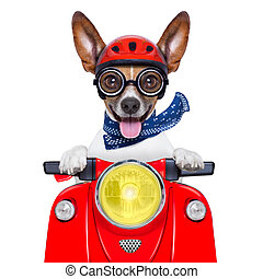 crazy silly motorbike dog with helmet and sticking out the...