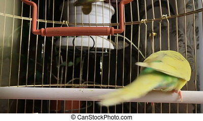 Crazy yellow and green parrot in a cage.