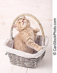 Cream color Scottish strait cat sits in a wicker basket. A playful kitten