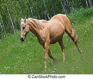 Cream colored horse in field - Cream colored horse running...