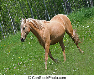 Cream colored horse in field - Cream colored horse running...