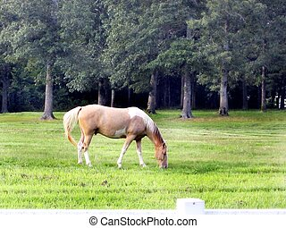 Cream colored horse grazing