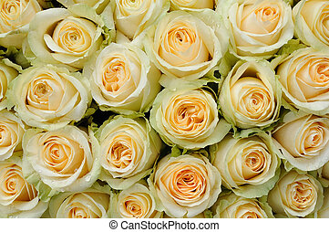 cream-colored roses - Background of beautiful cream-colored...