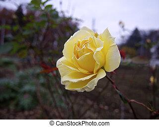Cream-colored roses