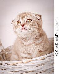 Scottish kitten looks from wicker basket