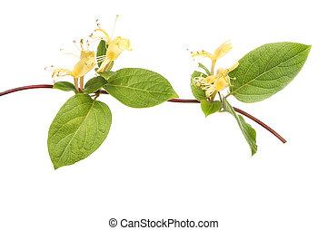 Cream Honeysuckle, Lonicera, flowers and foliage isolated against white