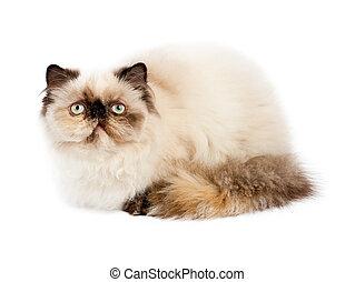 Cream Persian cat lying on white background