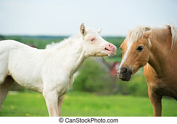 cream pony foal in the meadow with adult pony